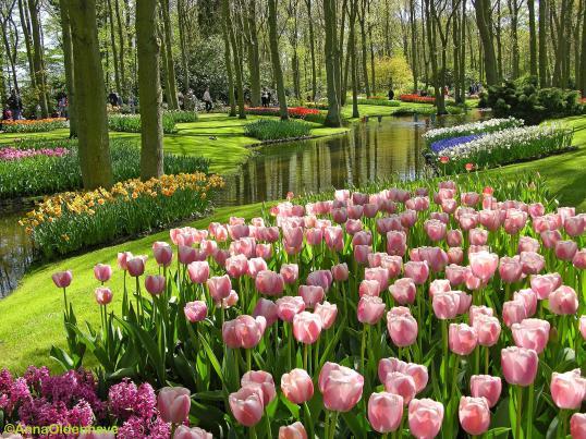 bunga tulip di keukenhov garden, tunggu aku!