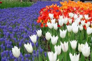 Tulip-Tulip Cantik Showakinen Park, Tokyo :)