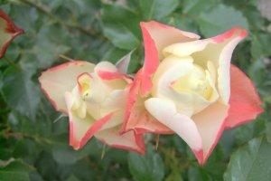 Sweet roses from Tokyo Jindai Garden :), spring 2010
