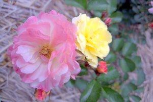satu tangkai dua bunga