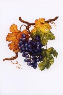 vitis-vinifera-b-van-de-graaff